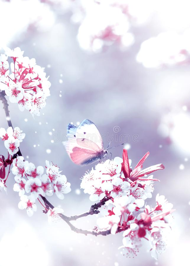 Naturligt fjädra bakgrund Delikata vita och rosa aprikosblommor och trädgård för fjäril på våren royaltyfri fotografi