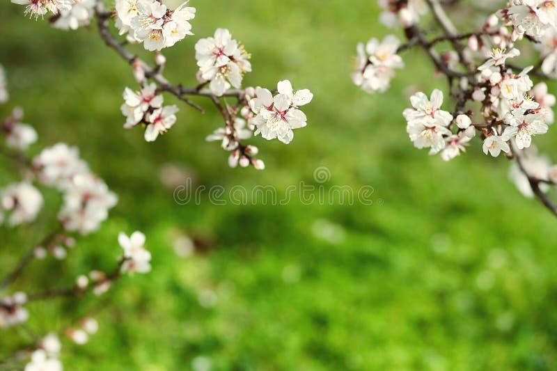 Naturligt fjädra bakgrund Vårblomningbakgrund - abstrakt blom- gräns av gräsplansidor och vita blommor arkivfoto