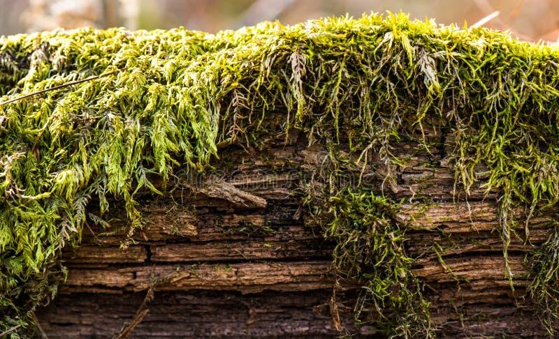 Naturligt gammalt trä - skäll i mossa arkivbilder