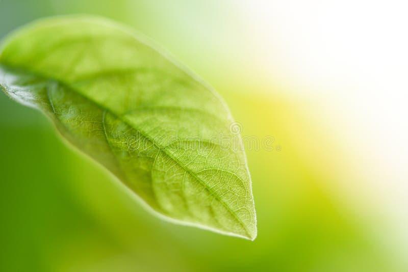 Naturligt grönt blad på suddig solljusbakgrund i slut för träd för sidor för trädgårdekologi nytt upp den härliga växten fotografering för bildbyråer