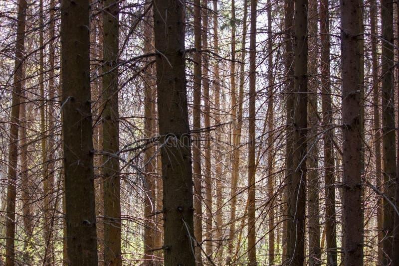 Naturligt landskap - prydlig skog i strålar av solen den tidiga våren royaltyfri bild