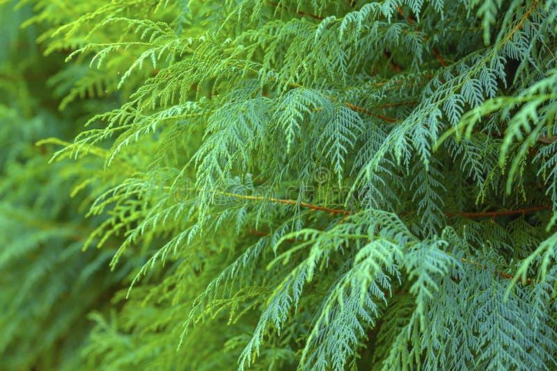Naturligt ljust - grön buske arkivfoton