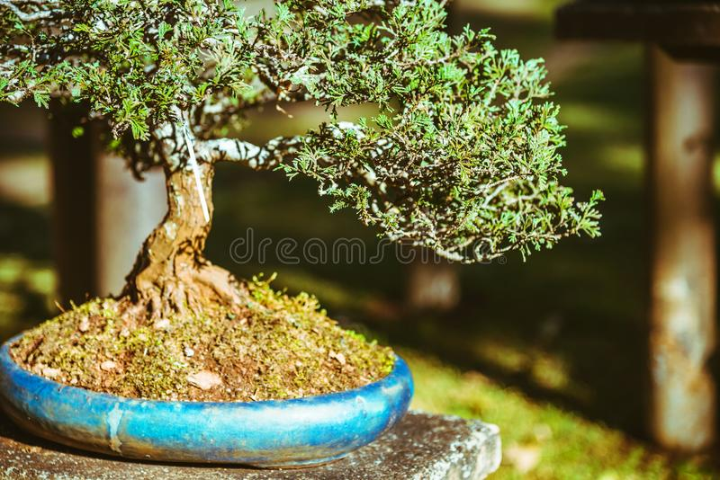 Naturligt parkera bonsaitr?det I parkera royaltyfria bilder