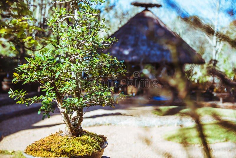 Naturligt parkera bonsaitr?det I parkera royaltyfri bild