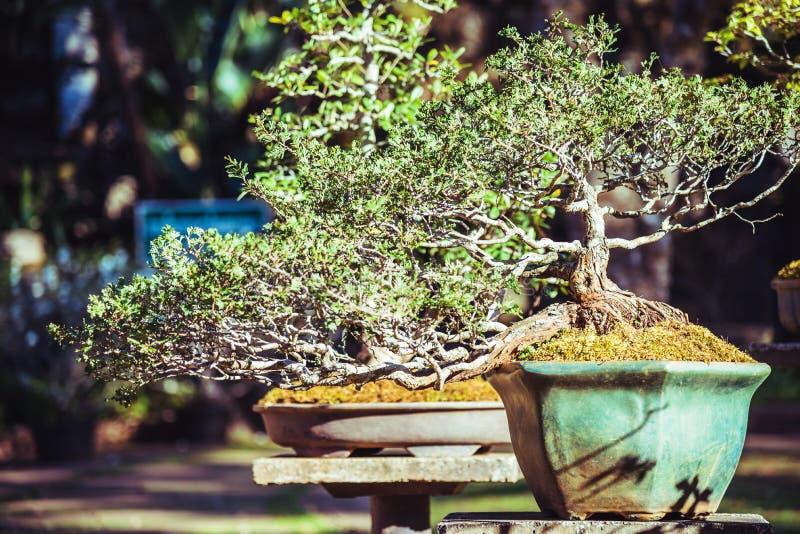 Naturligt parkera bonsaitr?det I parkera fotografering för bildbyråer