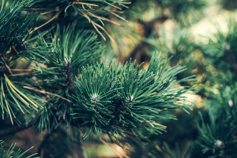 Naturligt sörja filialen som täckas med dagg på den botaniska gardenBackgrounden av julgranfilialer arkivfoto
