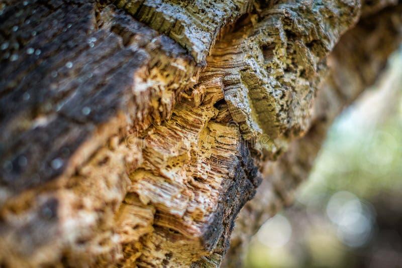 Naturligt skäll av balsaträ i natur close upp Odling för naturlig kork i natur arkivbild