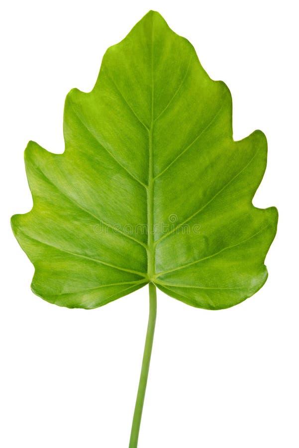 Naturligt stort blad för djungelregnskoggräsplan, philodendronisolat arkivfoto