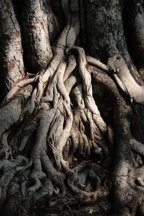 Naturligt svartvitt Slut upp sakralt fikonträdskäll och att rota royaltyfri foto