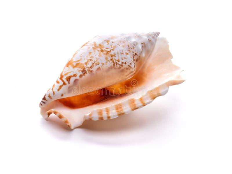 Naturmuschel im Meer, ursprüngliches Muster der Meereslebewesen lizenzfreie stockfotografie