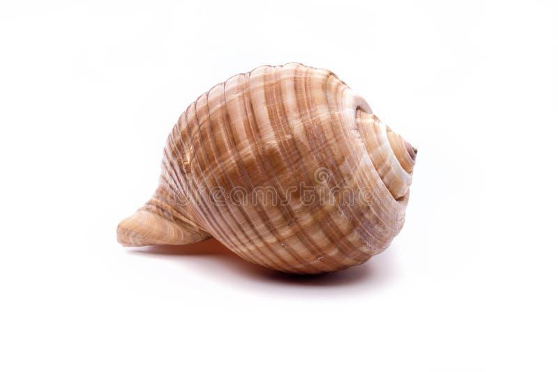 Naturmuschel im Meer, ursprüngliches Muster der Meereslebewesen lizenzfreies stockfoto
