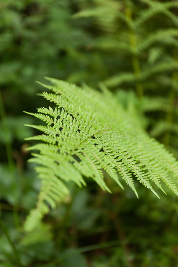 Naturormbunkebakgrund, grönt blad arkivbilder