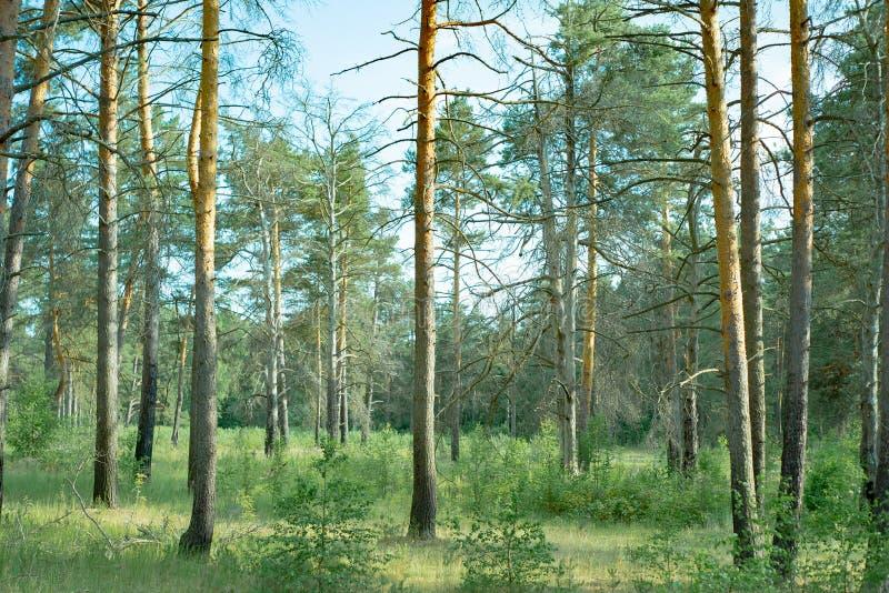 Naturparks der Moskau-Region, schöner ruhiger Wald A, in denen es Beeren und Tiere gibt lizenzfreies stockbild