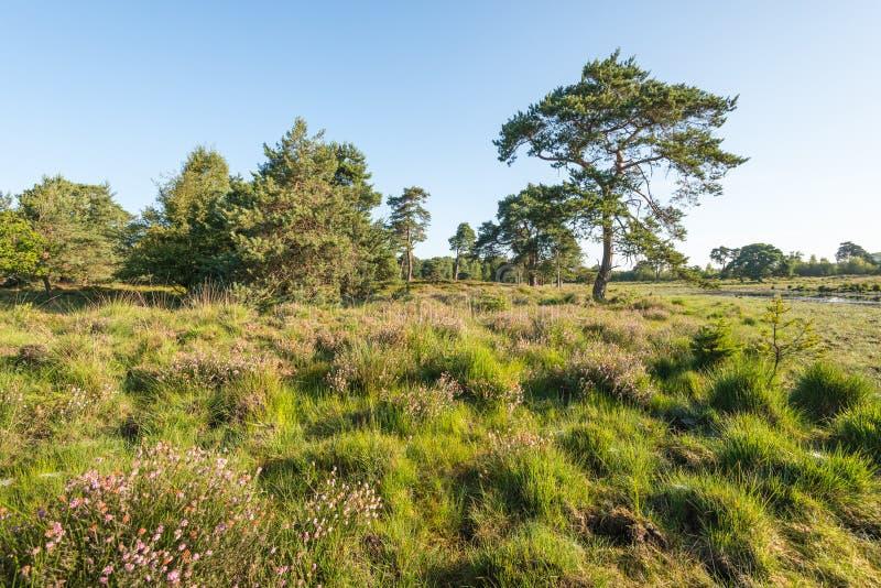 Naturreservat mit blühender Heide und Bäumen lizenzfreies stockbild