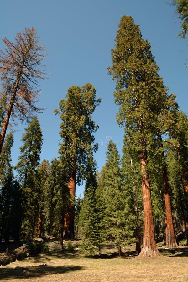 Naturs jättar sequoian arkivbilder