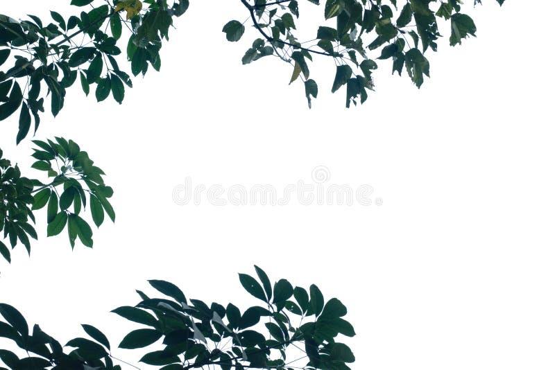 Naturträdsblad med isolerat kopieringsutrymme royaltyfri foto