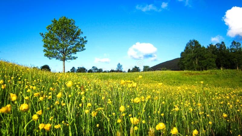 Naturvårlandskap med ett fält av lösa gula smörblommor, ett ensamt träd och spridda vita moln i den blåa himlen royaltyfri bild