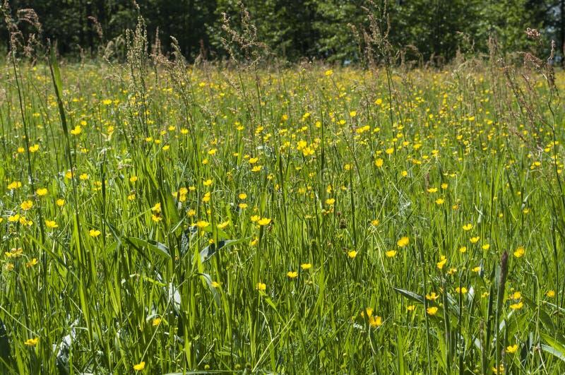 Naturwiese in der Sommerzeit mit allgemeinem Sauerampfer und Wiese Butterblume blüht stockbild