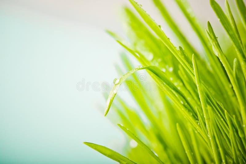 natury świeża zielona trawa z dews kroplę obraz stock