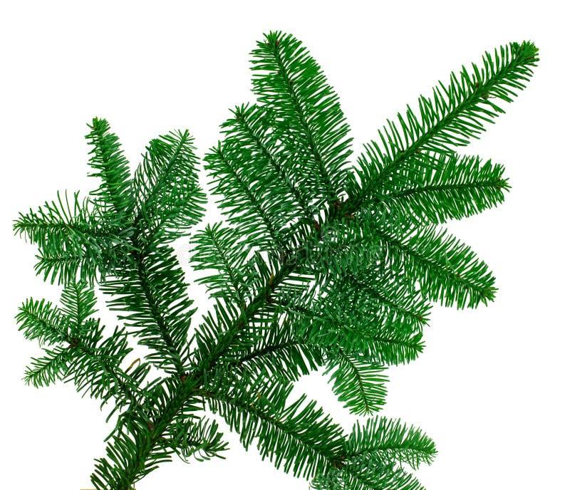 Natury drzewny jedlinowy branche na białym tle zdjęcia stock