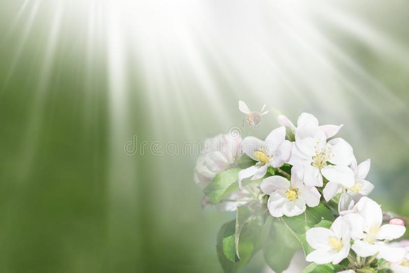 Natury jabłoni Piękna gałąź z bllom kwiatów, pszczoły i słońca promieniami, zdjęcie royalty free