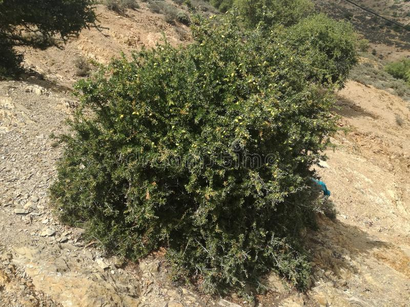 Natury Morocco argane obraz stock