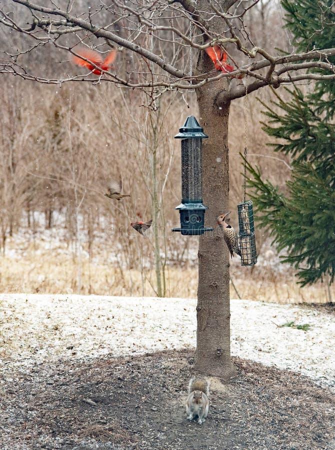 Natury scena z wiewiórką, Północnym migotaniem & kardynałów Latać, fotografia stock