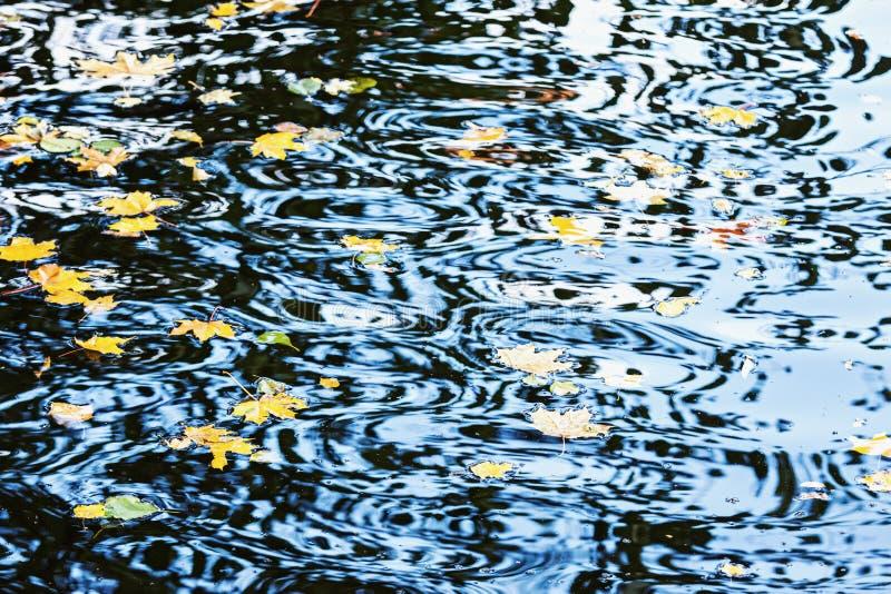 Natury tło z woda liśćmi klonowymi i czochrami zdjęcie royalty free