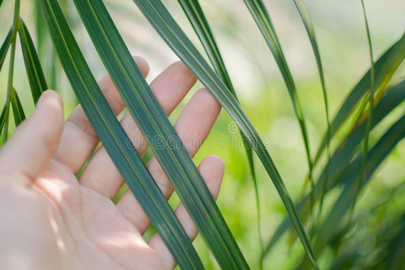 Natury tło - zakończenie w górę kobiety ręki dotyka zieleni palmowego liścia zaświecał słońcem obrazy royalty free