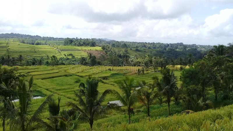 Natury turystyki ryż i drzew pola w jatiluwih fotografia royalty free