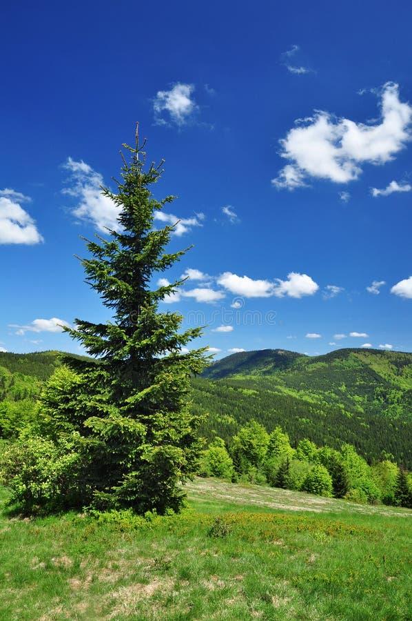natury wiosna świerczyny drzewo obrazy stock