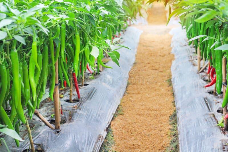Natury zieleni i czerwieni chili długiego pieprzu krajobrazowy kolorowy świeży obwieszenie z wodnymi kroplami na drzewie w organi obraz royalty free