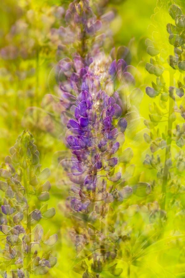 Naturzusammenfassungsmehrfachbelichtung von lupine Blumen in Vernon, Connecticut stockbilder