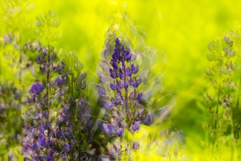 Naturzusammenfassungsmehrfachbelichtung von lupine Blumen in Vernon, Connecticut lizenzfreies stockfoto
