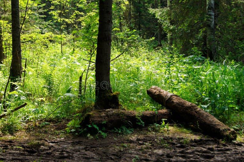 Natuurlijk boslandschap stock afbeelding