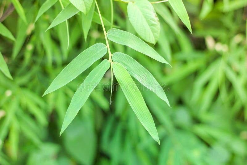 Natuurlijk groen bamboeblad royalty-vrije stock afbeeldingen