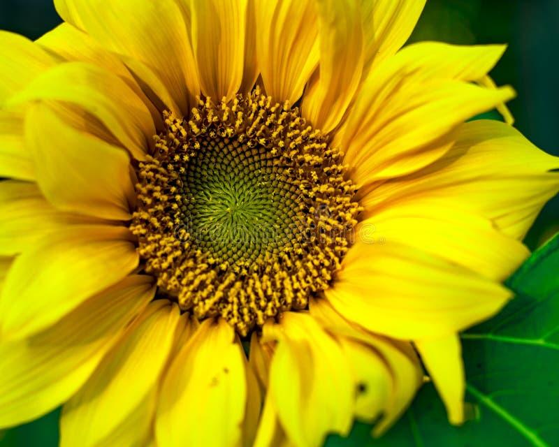 Natuurlijk kijk van Zonnebloem die in het volledige scherm bloeien stock afbeelding