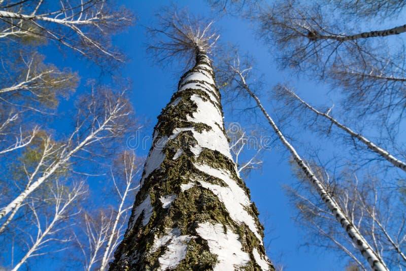 Natuurlijk landschap - gezicht omhoog het close-up van de boomstammenberk met jong gebladerte royalty-vrije stock foto's