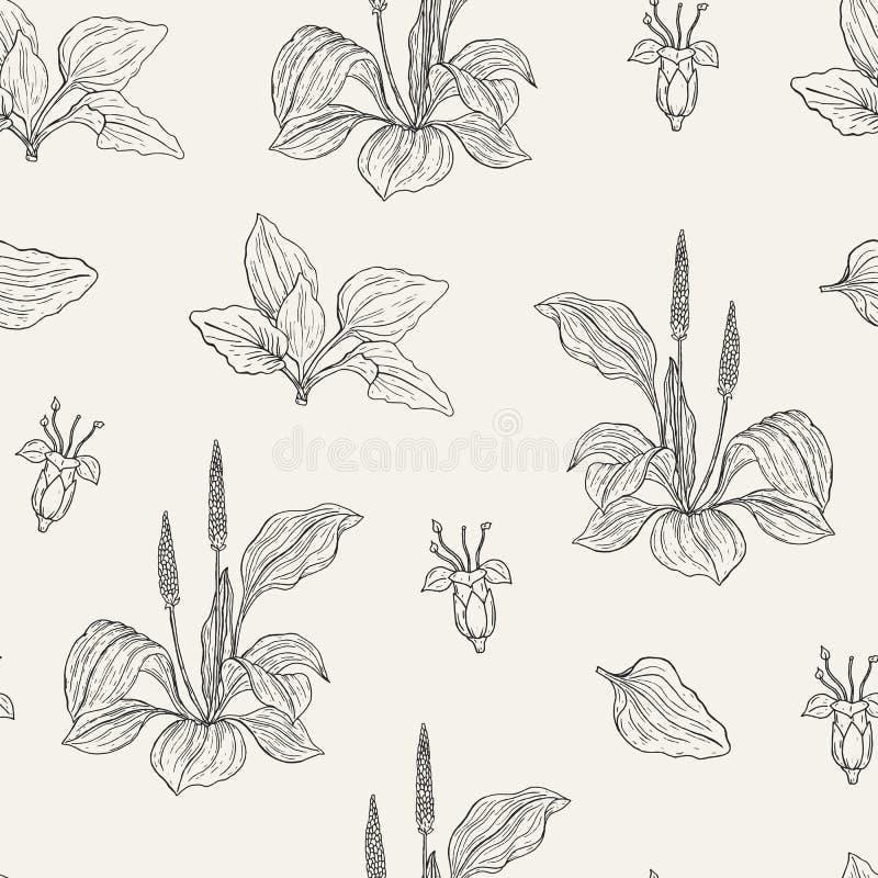 Natuurlijk naadloos patroon met bloeiende weegbree De geneeskrachtige kruidachtige installatie met bloemen en de bladeren overhan royalty-vrije illustratie