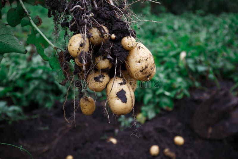 Natuurlijk plantaardig vers landbouwvoedsel Ruwe groene aardappel in de grond stock fotografie