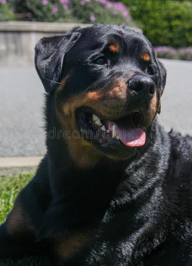 Natuurlijk portret van een Rottweiler stock foto's