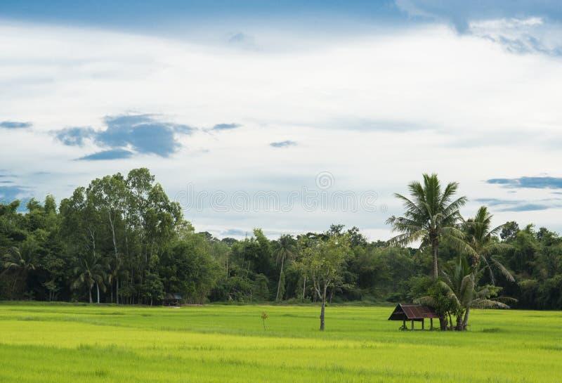 Natuurlijk Thais padieveld met farmer& x27; s de hut onder kokospalm, kijkt vanuit de invalshoek van gezicht stock foto's