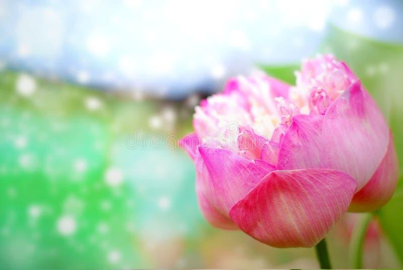 Natuurlijk van lotusbloembloem het bloeien royalty-vrije stock afbeelding