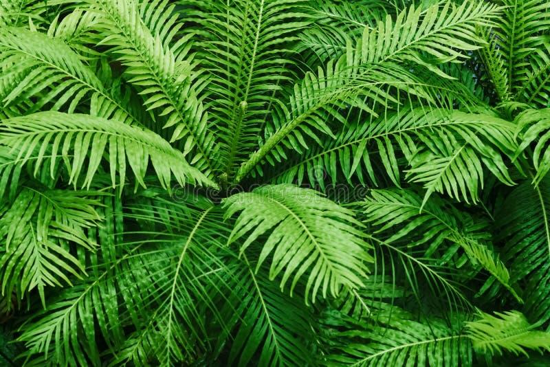Natuurlijk varen geweven patroon De mooie groene achtergrond van varenbladeren De sierachtergrond van het groene installatie trop stock fotografie