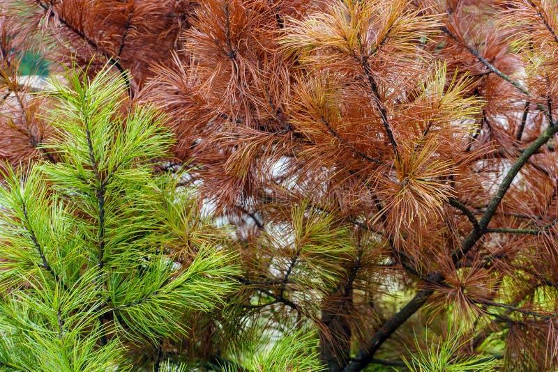 Natuurlijke achtergrond Beeld van de herfstcontrast, groene en rode pijnboomnaalden stock foto