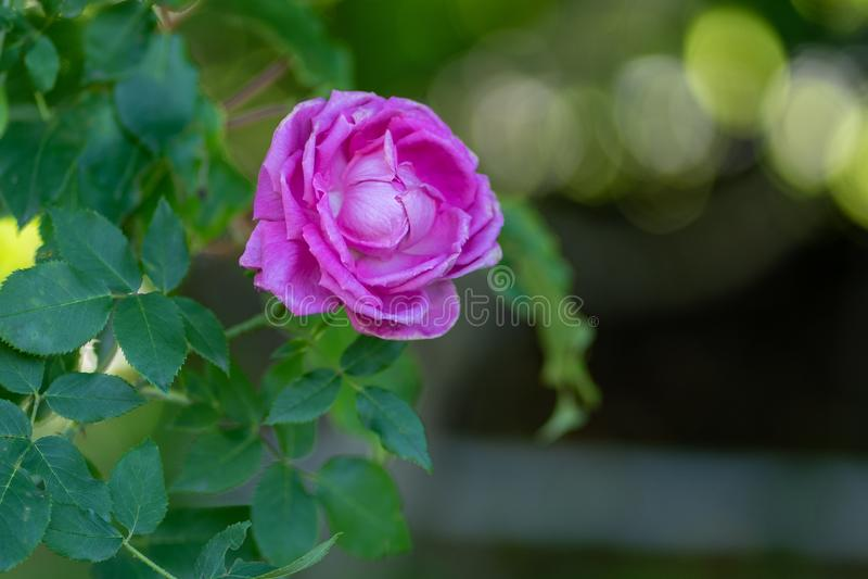 Natuurlijke achtergrond Het beeld van purple nam op een tak in zachte nadruk toe royalty-vrije stock foto's