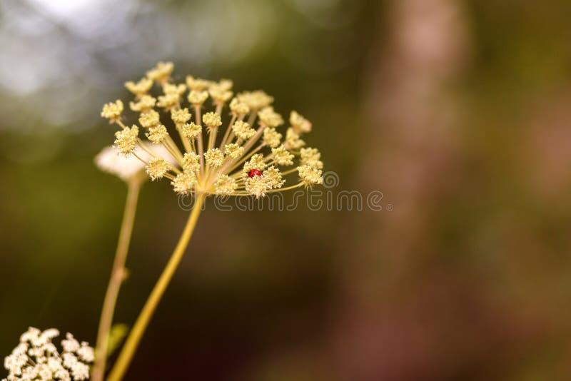 Natuurlijke achtergrond Het lieveheersbeestje verborg in de bloeiwijze van koepastinaak, vage achtergrond, bokeh Selectieve nadru stock foto