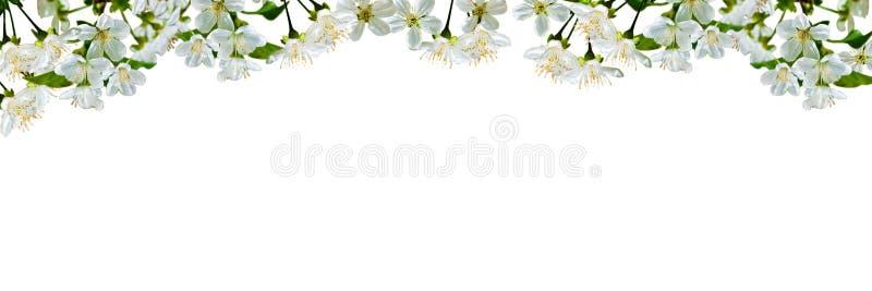 Natuurlijke achtergrond met kersenbloemen en bladeren stock afbeelding