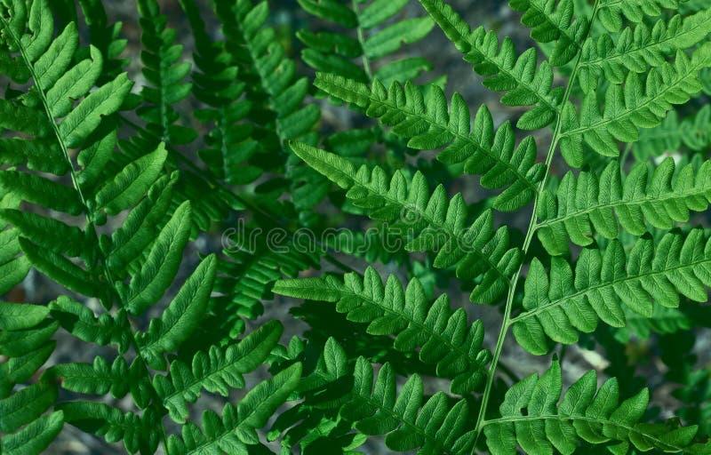 Natuurlijke achtergrond van bladeren De natuurlijke groene jonge struisvogelvaren of de shuttlevaren verlaten Matteuccia-struthio royalty-vrije stock afbeelding