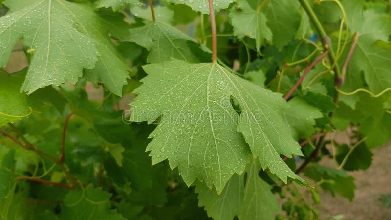 Natuurlijke achtergrond van groene wijnstokbladeren met waterdalingen royalty-vrije stock afbeeldingen